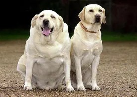 Image result for diabetic labrador