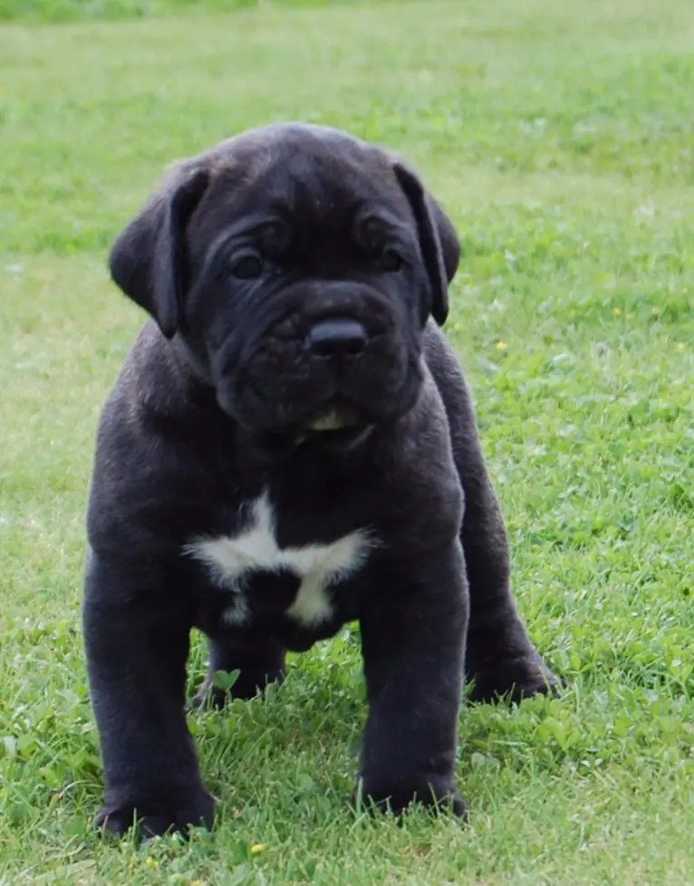 Cane Corso 08 Raising A Pitbull Puppy With Another Dog