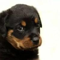 rottweiler_baby