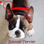 orelhas-boston-terrier
