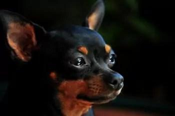 Pinscher Miniatura o Cão Destemido