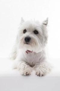 Westie-Terrier