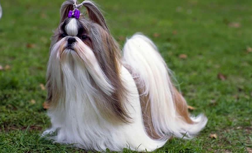 O Shih Tzu é um dos cachorros mais adorados e adotados pelos brasileiros. É ideal para quem mora em apartamento por ter um porte pequeno e não precisar de muito espaço para viver bem. Saiba como manter os pelos do Shih Tzu sempre saudáveis.