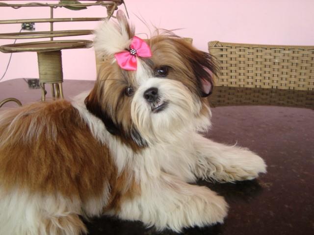 Shih Tzu sozinho em casa. Como deixar seu cãozinho feliz