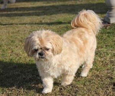7 razões para você adotar um cão Shih Tzu idoso