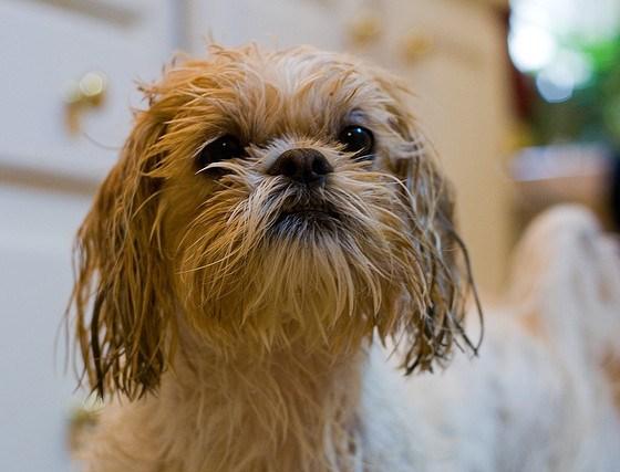 Shih Tzu – Como dar o primeiro banho em casa sem traumas