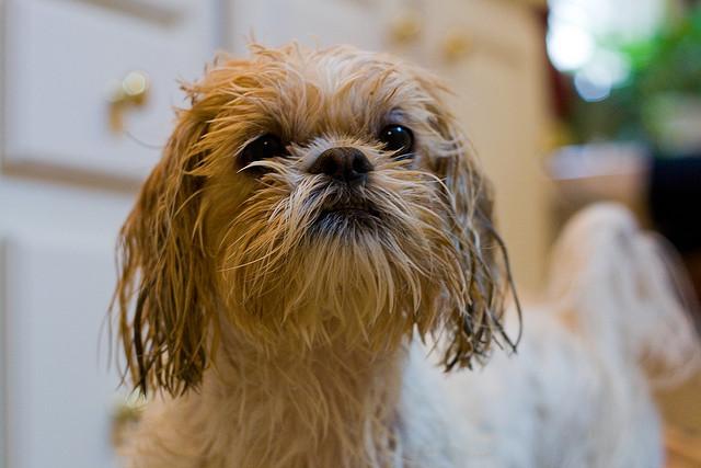 Shih Tzu - Como dar o primeiro banho em casa sem traumas