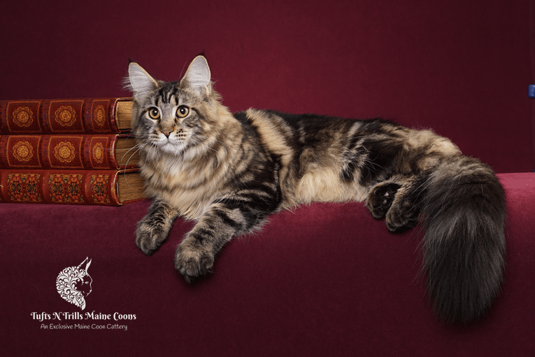 Maine Coon Exclusive Cattery Mooreland OK