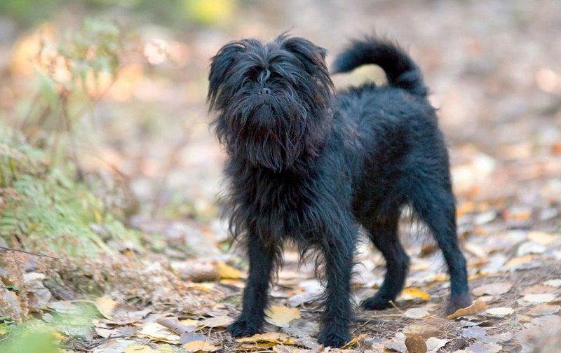 Affenpinscher - Razas de perros