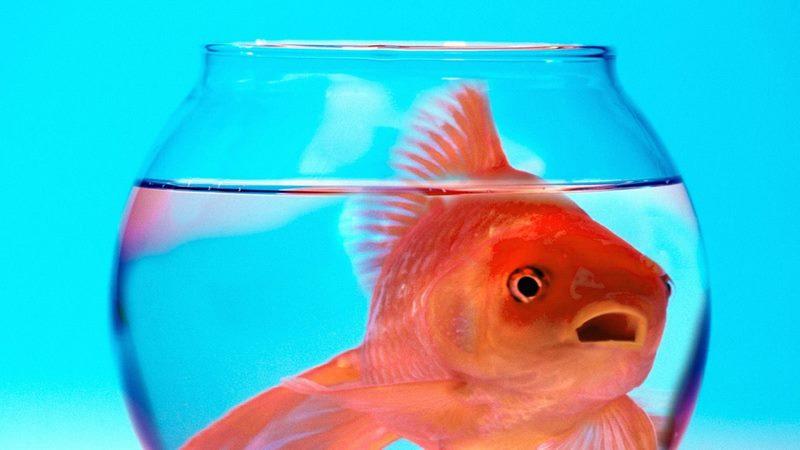 El estrés en peces