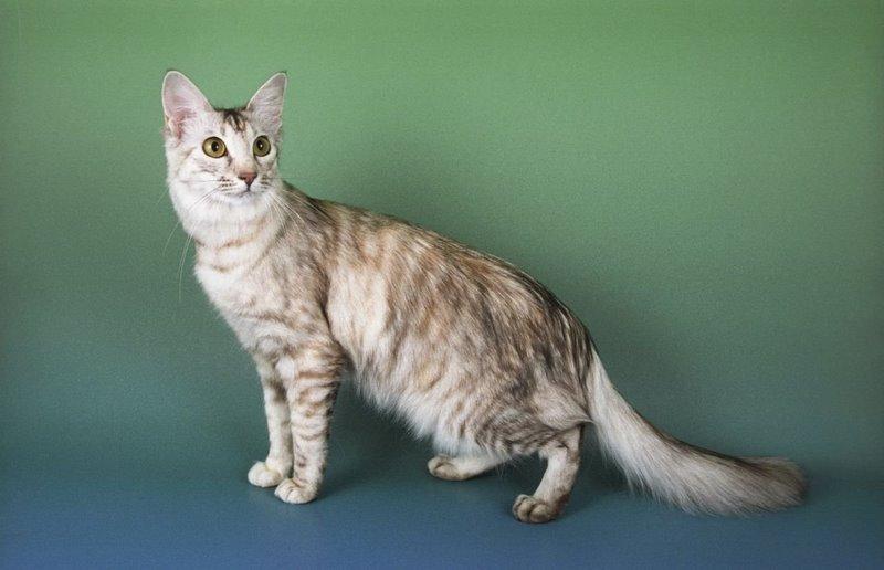 Oriental de pelo largo - Razas de gatos