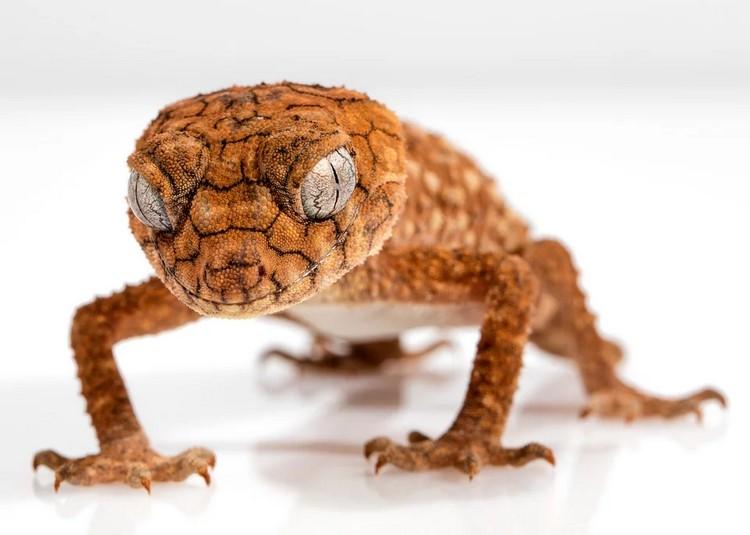Reptiles domésticos que puedo adoptar como mascota