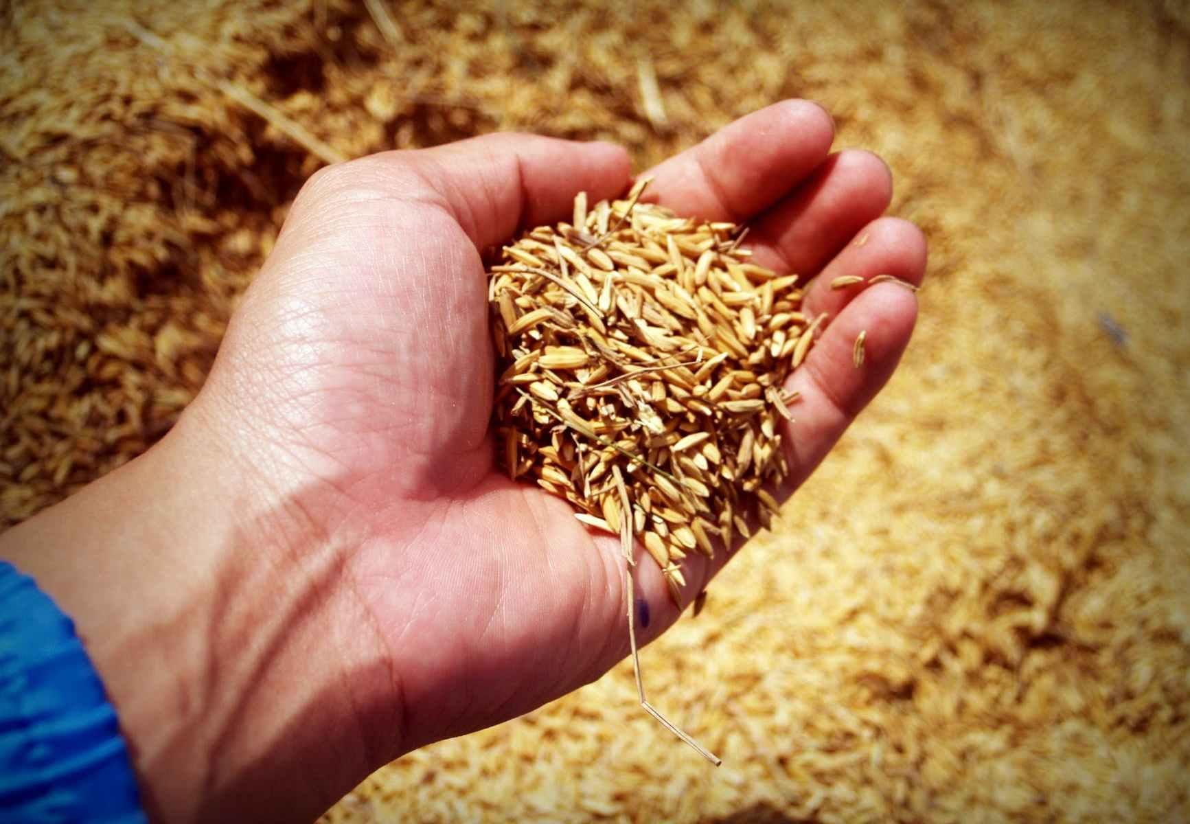 abundance agricultural agriculture armArroz es el producto tailandes más exportado.