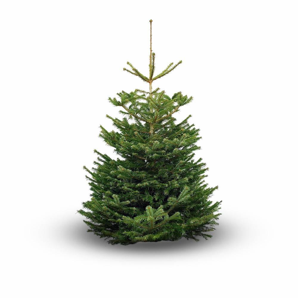 Nordmann Kerstboom 175 200cm Tuincentrum Ottema