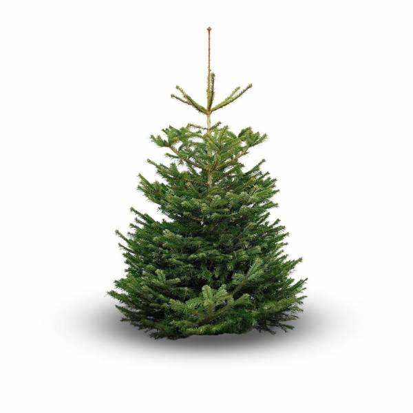 Nordmann Kerstboom marum 150cm
