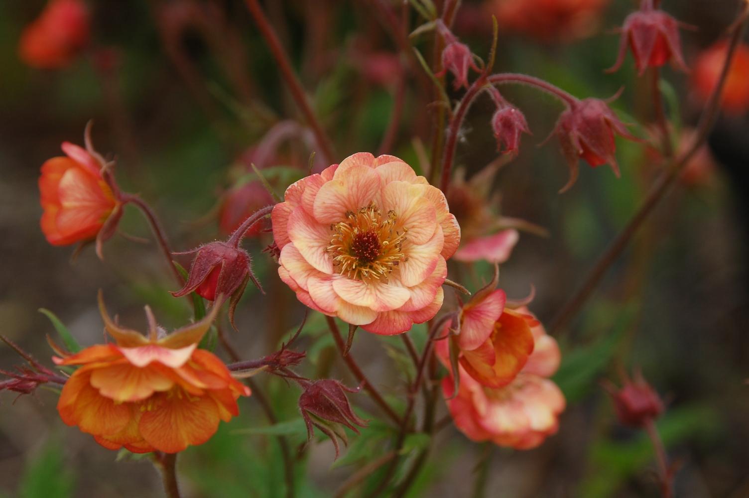 PlantenStruinen: Recente Cultivars van Tuinplanten Deel 1