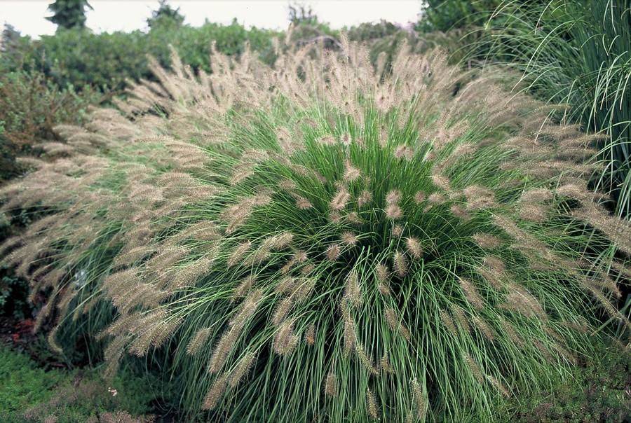 PlantenStruinen: Borstelveergras (Pennisetum)