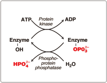 Phosphorylation and Dephosphorylation