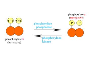 Enzymes in the Phosphorylation and Dephosphorylation