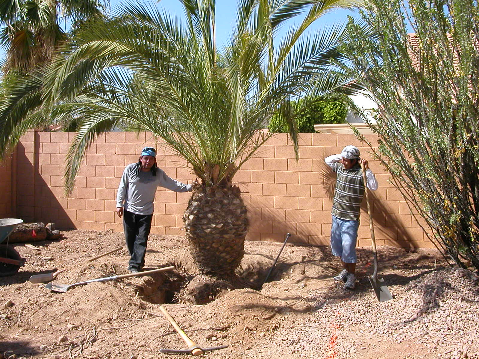 Excavating the canary palm