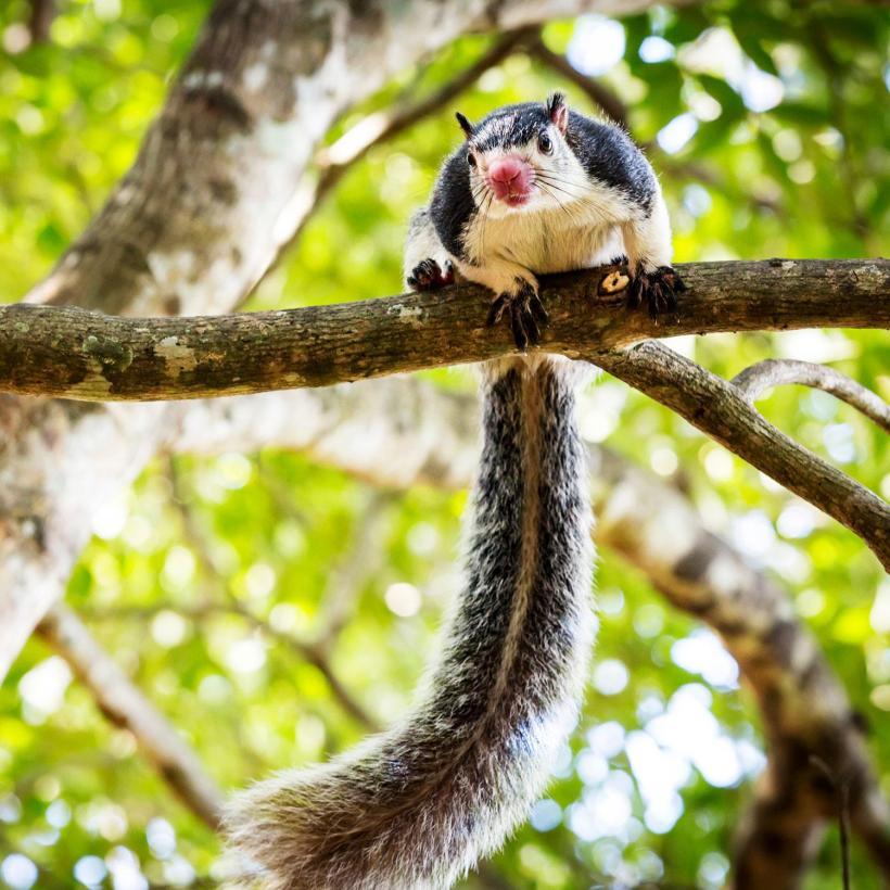 Sri-Lanka-Animals-Giant-Squirrel-2