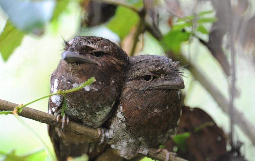 Sri_Lanka_Frogmouth_Batrachostomus_moniliger