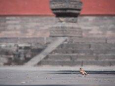 Chinesenvogel