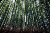 Arashiyama Bamboo III