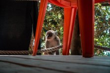 Die Affenbande