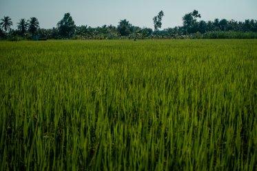 so viel Reis