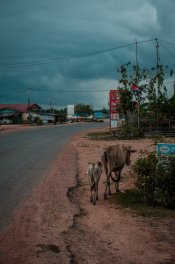 Straße mit Kuh - alles wie immer