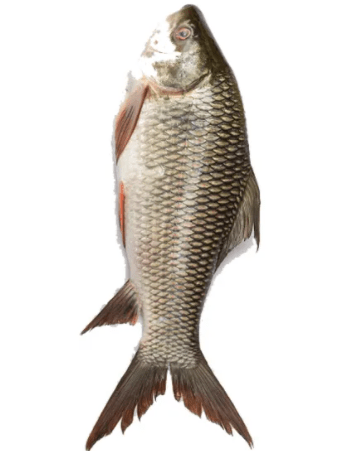 Rui Fish-Ruhu-Karpen Fisch_Tukwila Online Market in Germany