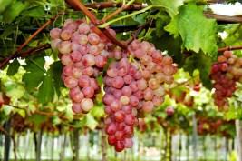 Atravessaremos a região de Caxias do Sul sede da maior festa da Uva do país e famosa pelos seus vinhos e comida típica italiana.