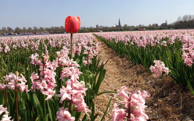 flower fields Lisse