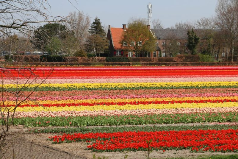 Bike tour tulip fields Amsterdam