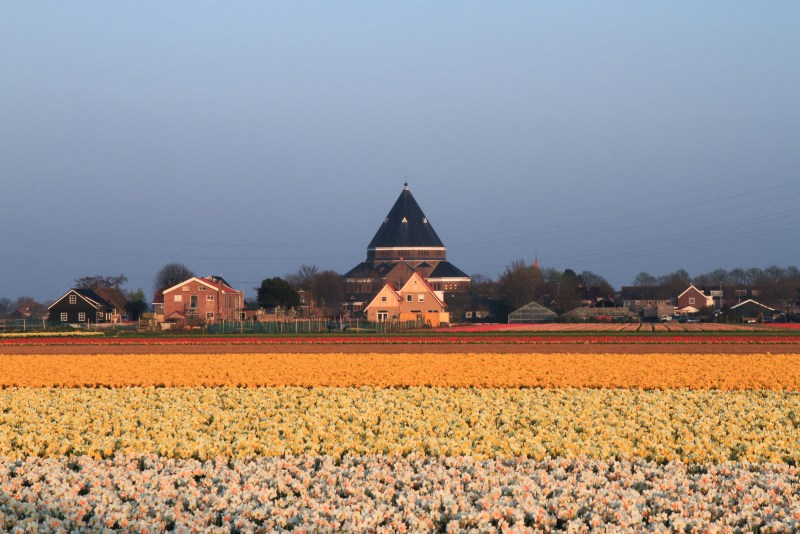 Tulip farm flower fields