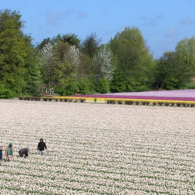 private guide tulip fields keukenhof