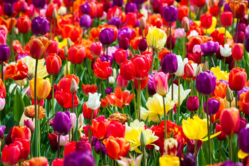 The meaning of tulip colors