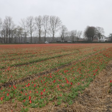 Flower Fields March 14 2019