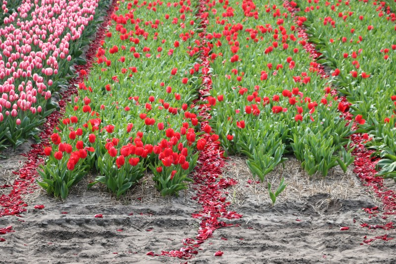 Tulip farmers removing the flowers