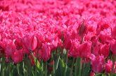 Digital tulip tours last week of April 2020