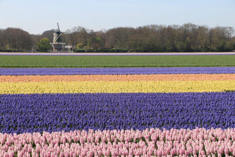 Flower fields 2020