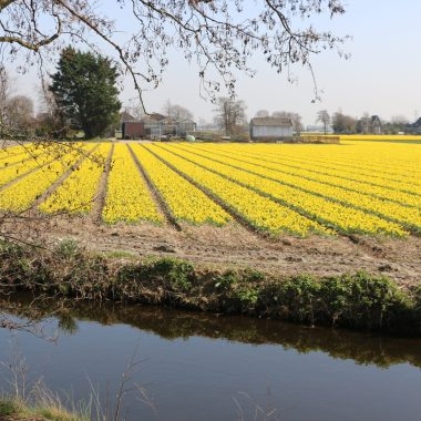 Flower fields Holland 1 April 2021