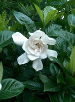 Benefits of Gardenia Augusta Kacapiring Leaf as an Herbal Medicine in Bali