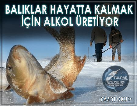 Balıklar Hayatta Kalmak için alkol üretiyor