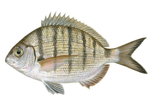 Sargus Balığı