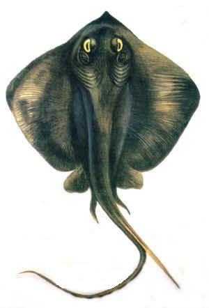 Rina Balığı