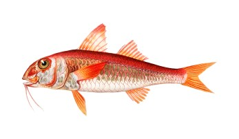 Barbunya Balığı, Barbun