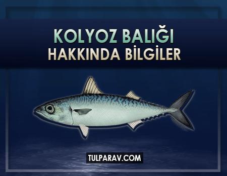 Kolyoz Balığı Nedir? Besin Değerleri ve Faydaları Nelerdir?