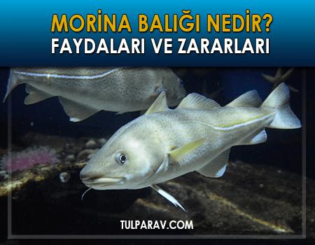 Morina Balığı Nedir?